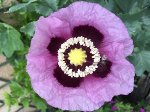 open poppy